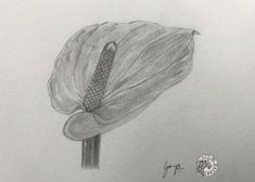 Daily Art Challenge 26 Anthurium Graphite Drawings Daily Art Art Challenge