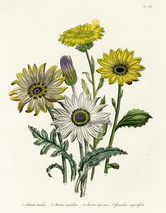 antique botanical prints.... an odd new mild obsession