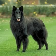 My Dream Home has at least one Belgian Shepherd. We think this is what Sable is mixed with. :)