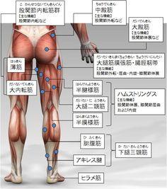 筋トレ大学:各部筋肉の名称(下半身:後側)