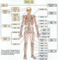 names+of+bones | ... below to study the division of the bones in the skeletal system