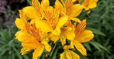 Comment planter et cultiver le lys des incas (alstroemeria) ? Comment Planter, Plantation, Plants, Gardens, Fleur De Lis, Planting Flowers, Plant Cuttings, Perennial Plant, Plant