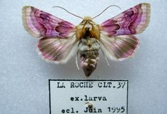 Description and photographs of the moth: Pease Blossom Periphanes delphinii