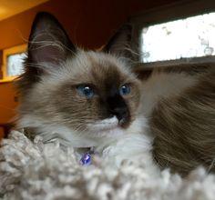My ragdoll kitten Auri =)