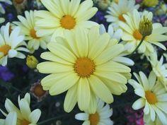 A cserjés margaréta gondozása Techno, Floral, Flowers, Plants, Photography, Gardening, Retro, Photograph, Fotografie