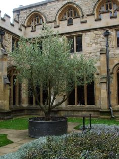 Celebrating peace in the form of an olive tree in the medieval cloister.