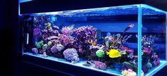 In this piece, I cover the basics of aquarium lights and explain how to identify the best spectrum and intensity for your tank. Whether you have a big reef tank filled with coral or a fish-only cichlid aquarium, color enhancing aquarium lights can make a big difference in your tank's appearance! 75 Gallon Aquarium, 10 Gallon Fish Tank, Aquarium Kit, Aquarium Design, Aquarium Ideas, Saltwater Fish Tanks, Saltwater Aquarium, Freshwater Aquarium, Cichlid Aquarium
