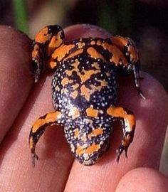 European Firebellied Toad