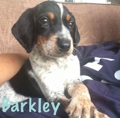 Barkley is an adoptable Beagle searching for a forever family near Fort Wayne, IN. Use Petfinder to find adoptable pets in your area.
