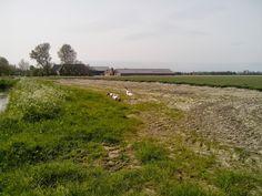 Grote boerderijen in de polders.