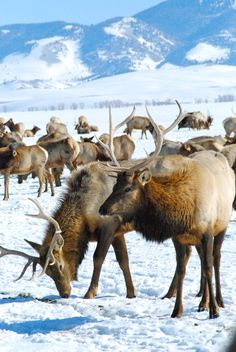 Elk feeding at the National Elk Refuge. The refuge offers educational sleigh rides daily in the wintertime.
