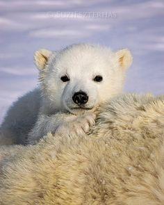 BABY POLAR BEAR Photo Print Baby dier fotograferen Wildlife