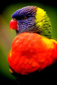"""Couldn't help sharing this original photography which was taken and pinned by the photographer...""""earthandanimals:  """" Lorikeet.  *This is my own photography*  """""""