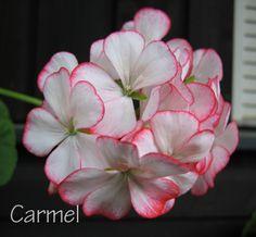 ...:: Välkommen att se mina blommor ::...
