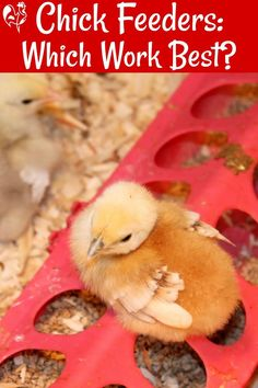 Which chick feeder will both best suit the needs of your baby chicks and save money? I compare three of the most common and one unusual solution, using no waste as a measure. What Can Chickens Eat, Herbs For Chickens, Raising Backyard Chickens, Baby Chickens, Keeping Chickens, Backyard Coop, Backyard Chicken Coops, Diy Chicken Coop, Clipping Chickens Wings