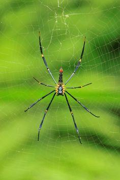 Bali. Spider