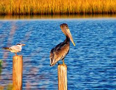 http://fineartamerica.com/featured/pelican-on-a-pole-chris-flees.html