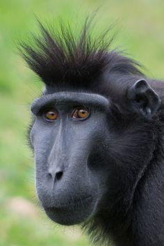 Types of monkeys, wildlife park, wildlife conservation, power Primates, Mammals, Especie Animal, Mundo Animal, Animal Faces, Rare Animals, Animals And Pets, Funny Animals, Types Of Monkeys