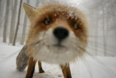 Interesting Photo of the Day: Curious Fox Requests a Portrait – PictureCorrect