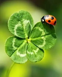 Lucky ladybird/ladybug on four leaf clover Beautiful Creatures, Animals Beautiful, Cute Animals, Beautiful Bugs, Amazing Nature, Bugs And Insects, Tier Fotos, Four Leaf Clover, Belle Photo