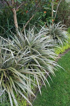 Astelia chathamica is a wonderful evergreen plant which does really astelia nivicola red thecheapjerseys Gallery