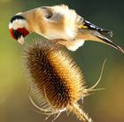 Often grown by gardeners to attract Goldfinches - Dipsacus fullonum (teasel)