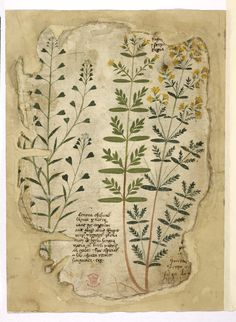 Leaves from an illustrated Herbal, Additional 41996, f. 112v, Italy, N. E. (?Veneto), 1st quarter of the 15th century, Latin and German