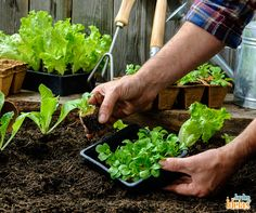 """As plantas em hortas extraem muitos nutrientes e água da terra para seu cultivo e crescimento. Quando for montar o seu cantinho, lembre-se de deixar a chamada """"área de repouso"""" entre uma espécie e outra, para que a falta de nutrientes não prejudique o germinar."""
