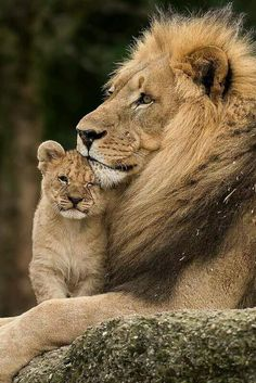 Lion and cub animal photography pictures So amazing to see🙏🏻💟🌸 Beautiful Cats, Animals Beautiful, Beautiful Babies, Cute Baby Animals, Animals And Pets, Wild Animals, Mother And Baby Animals, Big Cats, Cats And Kittens