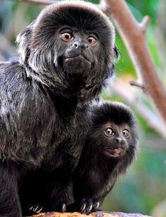 Goeldi's Marmoset   a.k.a.  Goeldi's Monkey   a.k.a.  Callimico, Callimico goeldii  -  Upper Amazon Basin
