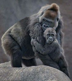 """Mama gorilla and baby... """"Mama will allways protect me."""""""