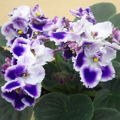 African Violet 'Optimara Cora'- plants or leaves may be available.