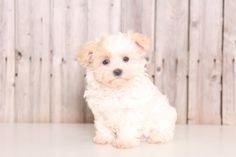 Morkie puppy for sale in MOUNT VERNON, OH. ADN-47469 on PuppyFinder.com Gender: Male. Age: 8 Weeks Old