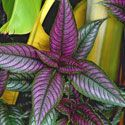 Persian shield plant.  Likes our humid summers, and does well in partial shade.  Would have to take cuttings to root in water as would not survive our winters.