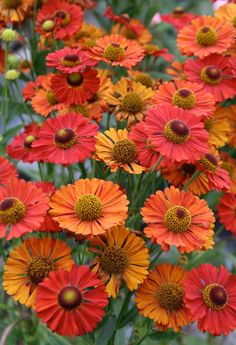 2011 garden addition, Helenium autumnale 'Red Shades' ::: This is lovely red tonal colors. Orange Flowers, Summer Flowers, Beautiful Flowers, Flowers Perennials, Planting Flowers, Shade Garden, Garden Plants, Autumn Garden, Shade Plants