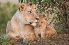 Jetzt als Poster oder Leinwandbild - wäre doch was zu Weihnachten:  Mutterliebe bei den Löwen: Poster & Kunstdruck von Ingo Gerlach