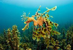 Enciclopedia animal | Animales de los mares y océanos - Dragón de ...