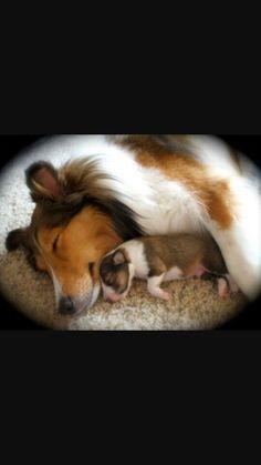 Sheltie and Baby...Sleep peacefully