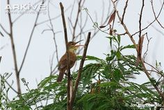 Nightingale reed-warbler on a branch vocalising - critically endangered
