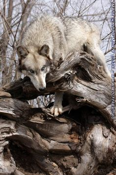 A wolf on a rootball.