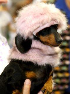 Glamour Gal #dachshund #teckel #doxie