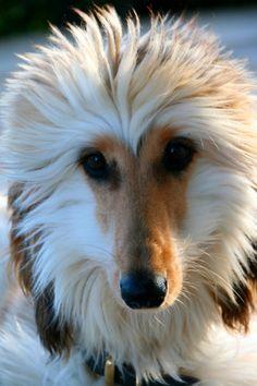 Afghan Hound - Annika Juul...what a beautiful dog!