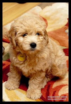 Our Golden doodle puppy