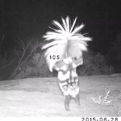 Ghost?  No, it's a spotted skunk doing a handstand at Saguaro National Park in Arizona. You never know what you are going to see at America's public lands. This strange interaction was captured by...