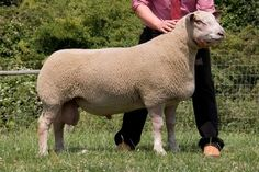 A shearling ram from the Willie and Carol Ingram and family's Logie Durno flock, Aberdeenshire