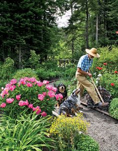 """Australian Shepherds Callie and Teddy shadow David as he works in his ornamental kitchen garden. """"People planted like this forever until the Victorians decided to separate the useful from the ornamental."""""""