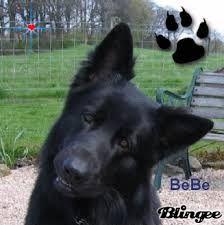 Image result for Border Collie Bernard