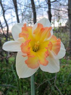 Daffodil Taurus   Living Gardens