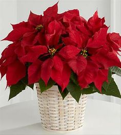 Beautiful red poinsettia plant.