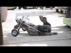 A Paralysed rabbit is given the chance to walk again with a bunny WHEELCHAIR - YouTube